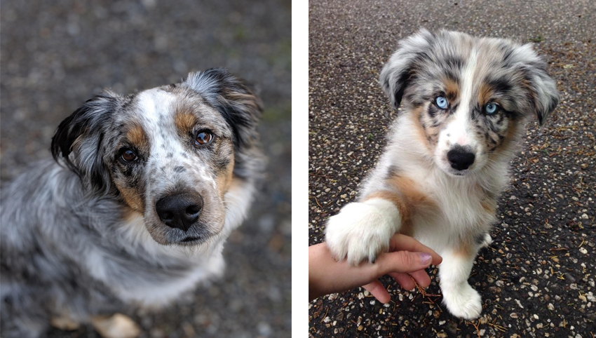 Science proved you and your Australian Shepherd fall in love when you look in each other's eyes
