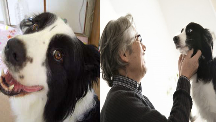 Science proved you and your Border Collie fall in love when you look in each other's eyes