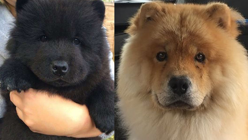 Science proved you and your Chow Chow fall in love when you look in each other's eyes
