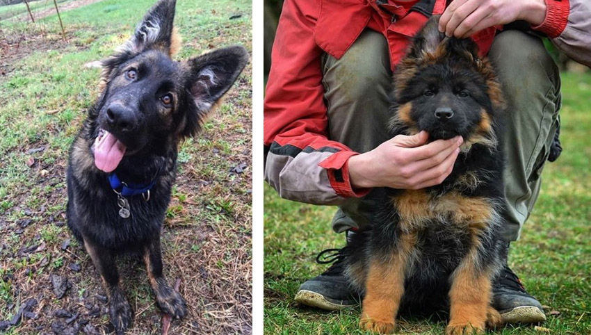 Science proved you and your German Shepherd fall in love when you look in each other's eyes