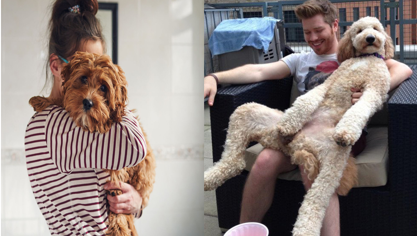 9 Reasons You Should Date Someone With A Goldendoodles