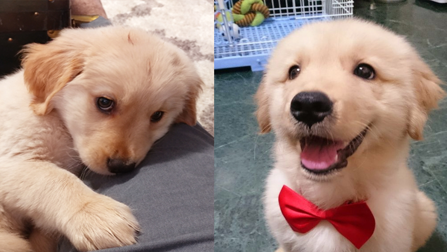 Science proved you and your Golden Retriever fall in love when you look in each other's eyes