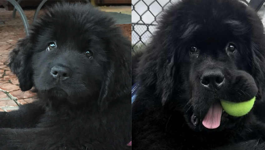 Science proved you and your Newfoundland fall in love when you look in each other's eyes