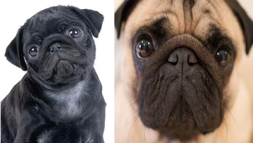 Science proved you and your Pug fall in love when you look in each other's eyes