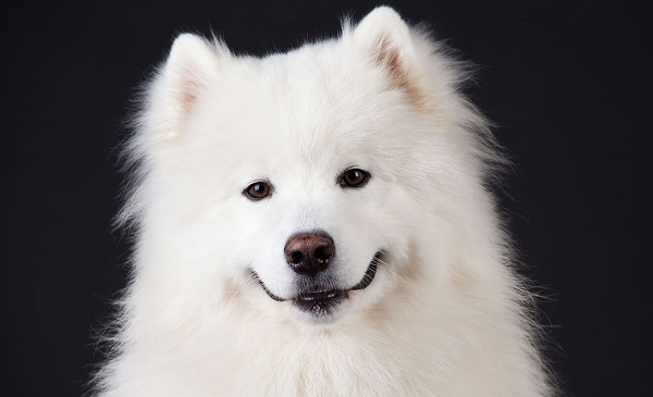 Science proved you and your Samoyed fall in love when you look in each other's eyes