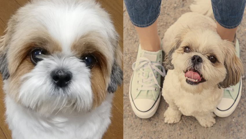 Science proved you and your Shih Tzu fall in love when you look in each other's eyes