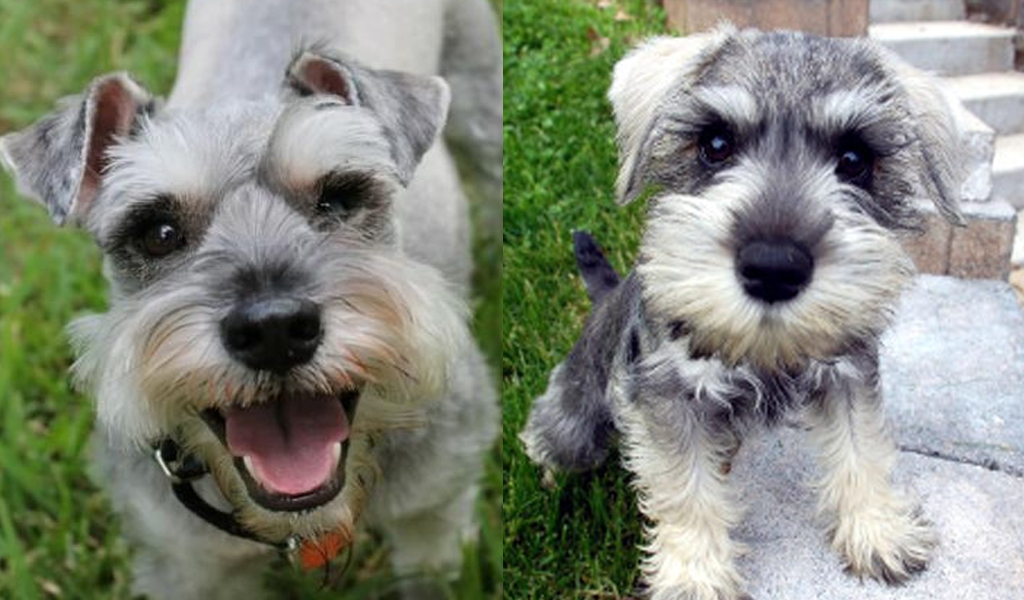 Science proved you and your Schnauzer fall in love when you look in each other's eyes