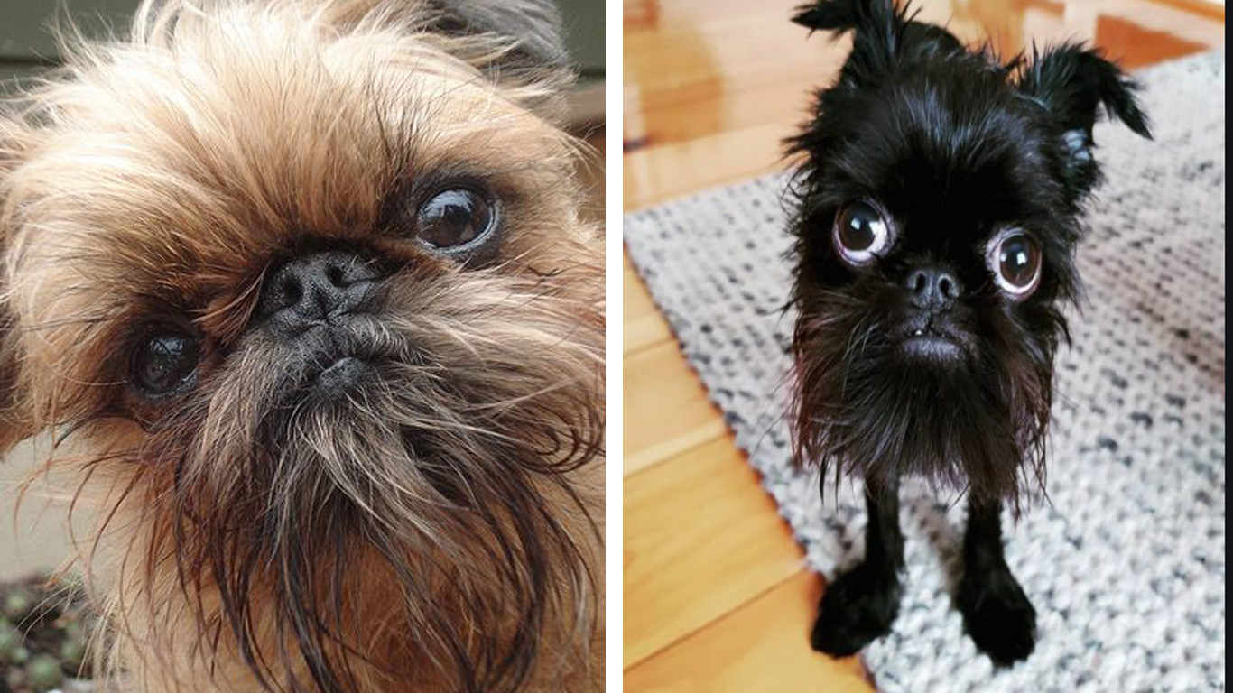 9 Signs Your Brussel Griffon Is Obsessed With You!