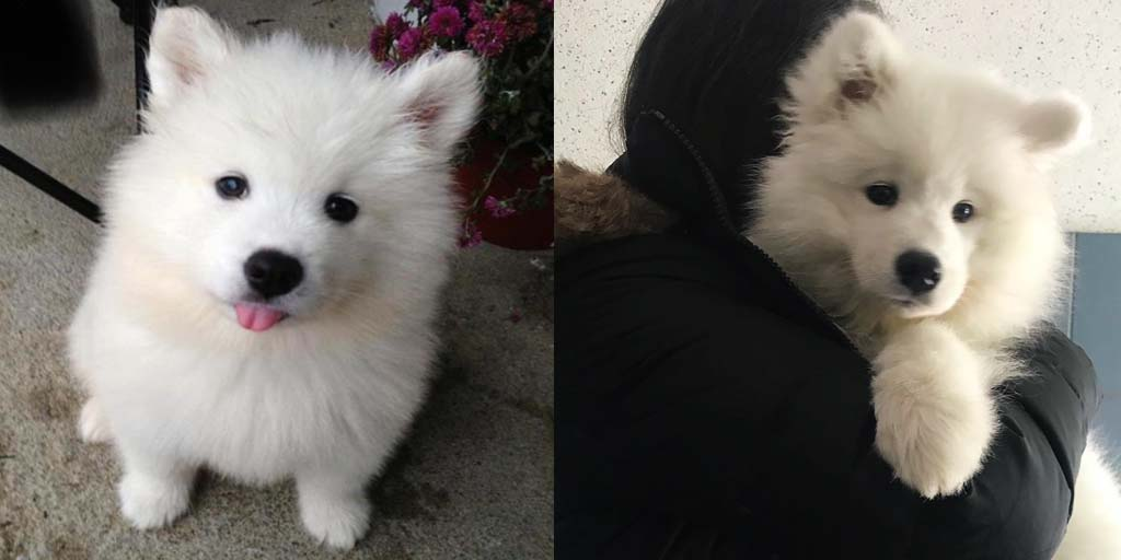 Study Reveals How Long It Takes To Fall In Love With a Samoyed.