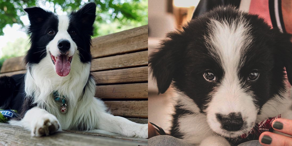 Study Reveals How Long It Takes To Fall In Love With a Border Collie.