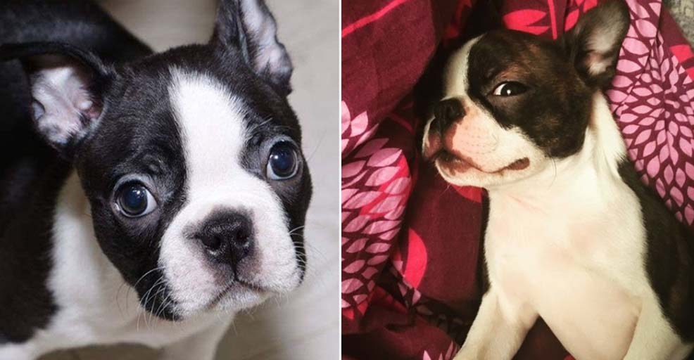 Study Reveals How Long It Takes To Fall In Love With a Boston Terrier.