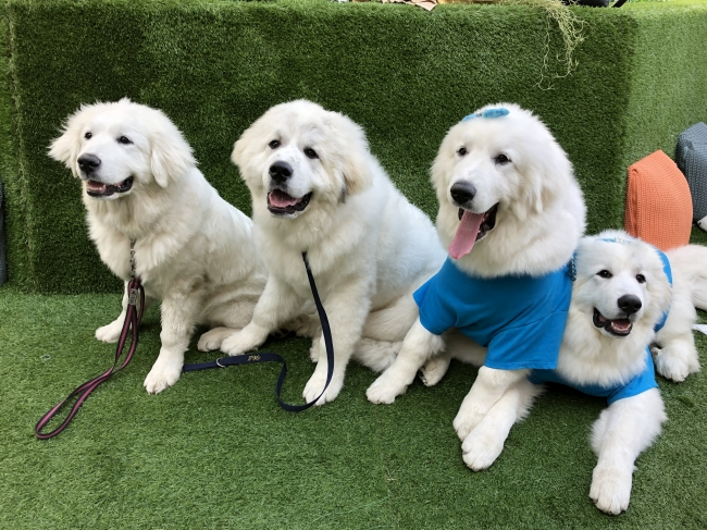 Study Reveals How Long It Takes To Fall In Love With a  Great Pyrenees.