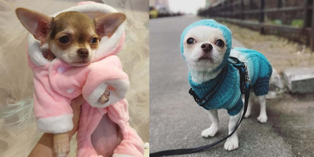 Study Reveals How Long It Takes To Fall In Love With a Chihuahua.