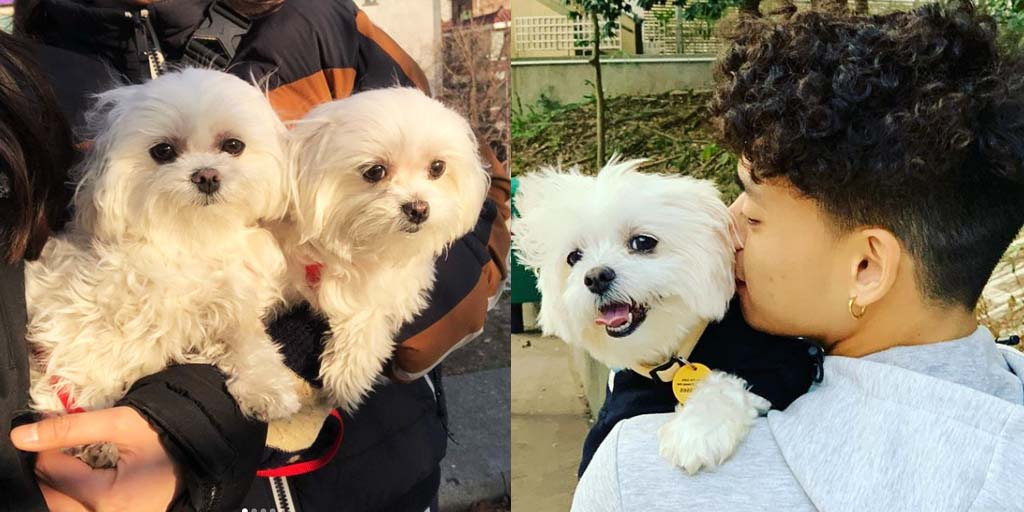 Study Reveals How Long It Takes To Fall In Love With a Maltese.