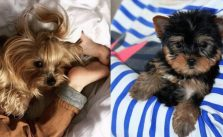 7 Ways You Didn't Realize Having A Yorkie Could Affect Your Sleep