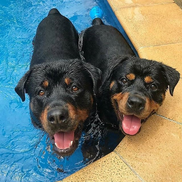 How Long It Takes To Fall In Love With a Rottweiler,