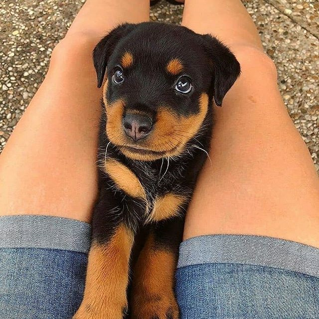 Your Rottweiler Loves You More Than You Ever Realized