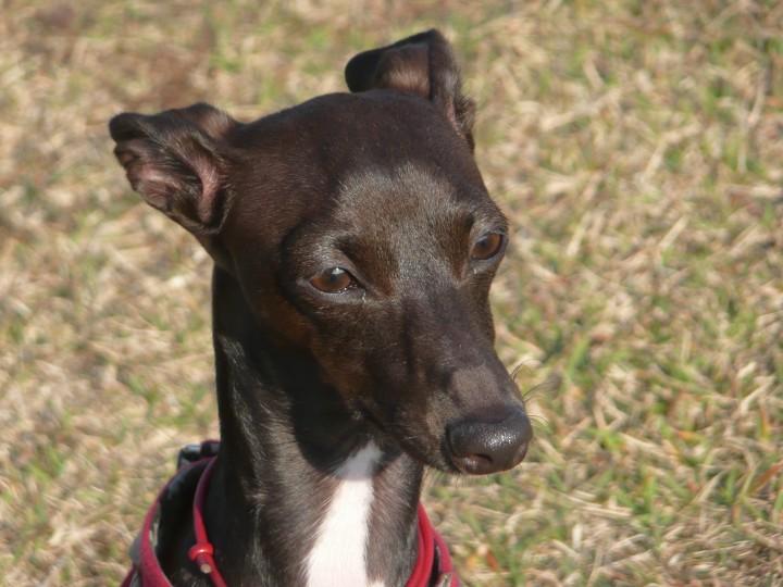 taliangrayhound cute eyes
