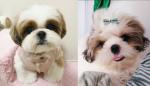 mini shihtzu puppy